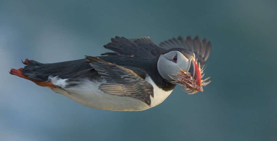 A puffin is flying mid air, with a beak full of krill.
