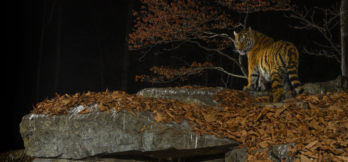 A Siberian tiger stands over a rocky surface covered with brown coloured leaves, that have fallen from the tree behind.