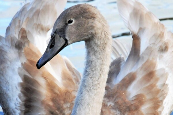 A cropped image of a young swan in the water, facing the camera.
